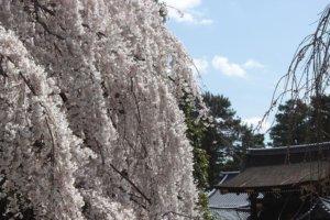 桜の季節13