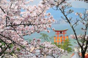 桜の季節15