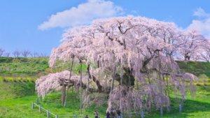 桜の季節20