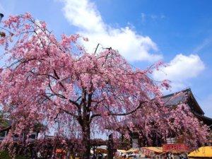 桜の季節3