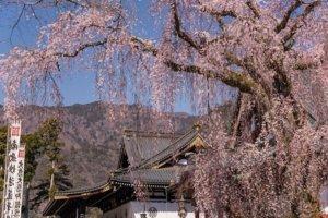 桜の季節7