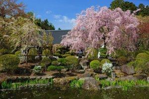 桜の季節8