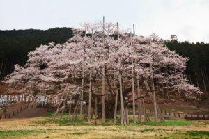 桜の季節9